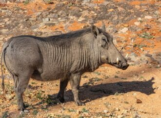 Know about this Wild pig in Zimbabve
